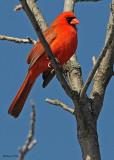20080407 015 Northern Cardinal (male).jpg