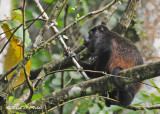 20090212 CR # 1 678 Mantled Howler Monkey SERIES.jpg