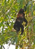 20090212 CR # 1 1177 Mantled Howler Monkey.jpg