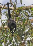20090212 CR # 1 1230 Mantled Howler Monkey.jpg