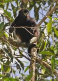20090212 CR # 1 1235 Mantled Howler Monkey.jpg