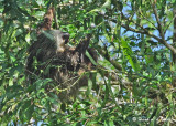 20090212 CR # 1 1027 Two-toed Sloth SERIES.jpg
