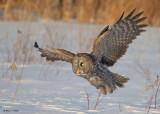 20090224 173 Great Gray Owl - SERIES.jpg