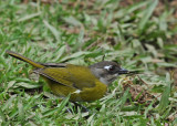 20090212 CR # 1 309 Common Bush-Tanager SERIES.jpg