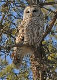 20090203 250 Barred Owl.jpg