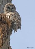 20090318 204 Barred Owl.jpg