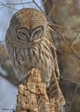 20090318 392 Barred Owl.jpg