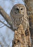 20090318 404 Barred Owl.jpg