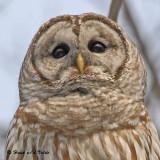 20090318 254 SERIES - Barred Owl.jpg