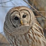 20090318 406 Barred Owl SERIES.jpg