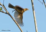 20090212 CR  2 660Clay-colored Robin.jpg