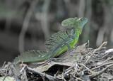 20090212 CR # 1 1148 Emerald Basilisk.jpg