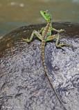 20090212 CR # 1 1465 Lizard.jpg