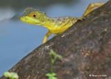 20090212 CR # 1 1469 Lizard.jpg