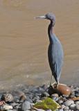 20090212 CR # 1 1445 Little Blue Heron.jpg