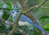 20090212 CR # 2 279 White-throated Magpie-Jay.jpg