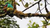 20090212 CR # 3 259 Resplendent Quetzal SERIES.jpg