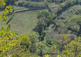 20090212 CR # 1 011 Coffee Plantations.jpg