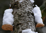 20090123 079 Tree Fungi.jpg