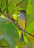 20090212 CR # 1 1425 Great Crested Flycatcher.jpg