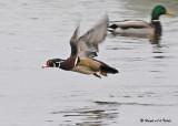 20090327 013 Wood Duck (M).jpg