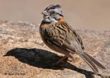 20090212 CR # 3 004 Rufous-collered Sparrow.jpg
