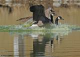 20090416 152 Canada Geese.jpg