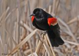 20090419 052 Red-winged Blackbird (M).jpg
