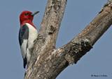 20090504 367 Red-headed Woodpecker.jpg