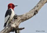 20090505 151 Red-headed Woodpecker.jpg