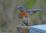 20090508 074 Eastern Bluebird (M - SERIES).jpg