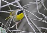 20090522 180 Common Yellowthroat.jpg
