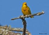 20090504 050 Yellow Warbler - SERIES.jpg