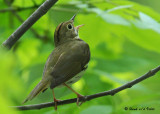 20090522 329 Ovenbird (Warbler) - SERIES.jpg