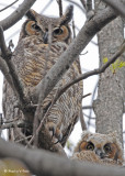 20090506 090 Great Horned Owls - SERIES.jpg