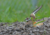 20090602 051 Killdeer - SERIES.jpg