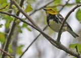 20090522 216 Black-throated Green Warbler.jpg