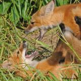 20090626 196 Red Fox Pups.jpg