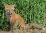 20090626 401 Red Fox Pup - SERIES.jpg