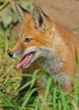 20090626 463 Red Fox Pup.jpg