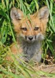 20090626 481 Red Fox Pup.jpg