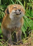 20090626 490 Red Fox Pup.jpg