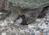 20090614 026 Snapping Turtle - SERIES.jpg