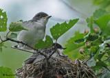 20090714 054 Eastern Kingbirds - SERIES.jpg