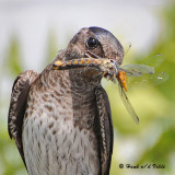 20090718 375 Purple Martin - SERIES.jpg