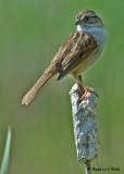 20090530 168 Swamp Sparrow.jpg