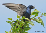 20090725 130 Purple Martin - SERIES.jpg