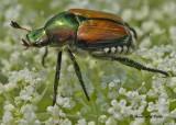 20090802 194 Japanese Beetle - SERIES.jpg