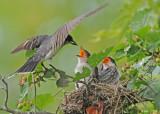 20090713 556 Eastern Kingbirds - SERIES.jpg