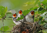 20090713 569 Eastern Kingbirds.jpg
